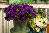 Patio Plants|Petunia - Supertunia Royal Velvet Mono Hanging Basket 3