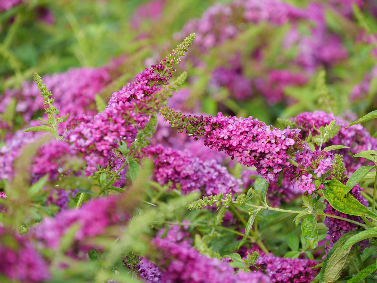 Shrub Plants|Buddleia - Lo & Behold 'Ruby Chip' Butterfly Bush 1