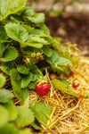 Berried Treasure® Pink Strawberry (Fragaria)