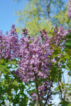 Proven Winners® Shrub Plants|Syringa - Scentara Double Blue Lilac  1