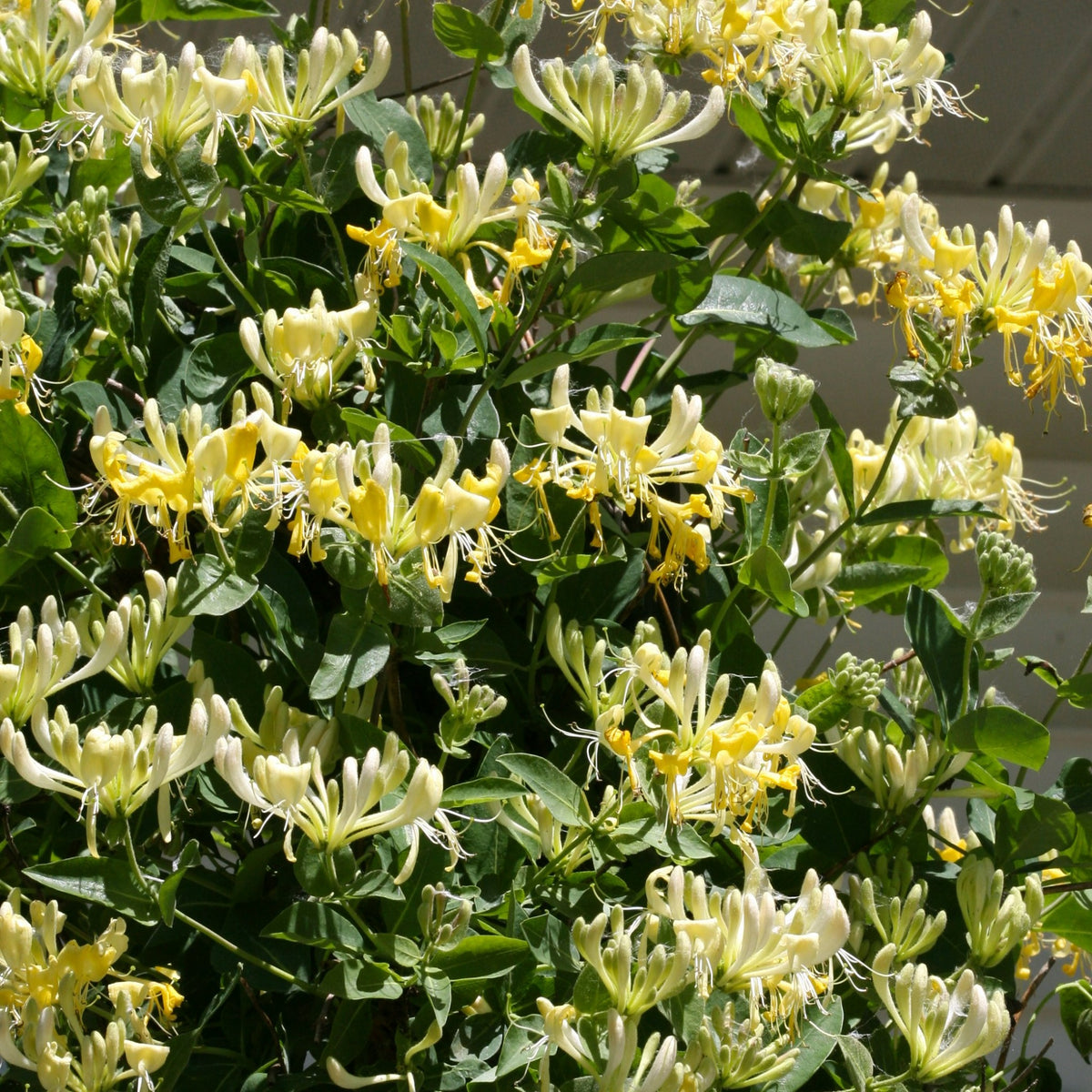 Proven Winners® Shrub Plants|Lonicera - Scentsation' Honeysuckle 1
