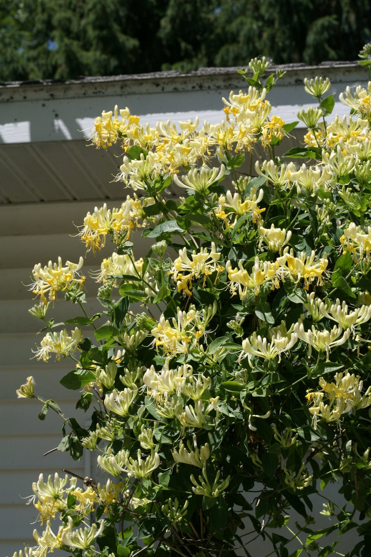 Proven Winners® Shrub Plants|Lonicera - Scentsation' Honeysuckle 2