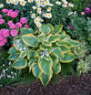 Proven Winners® Perennial Plants|Hosta - Shadowland Seducer 2