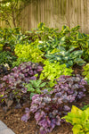 Proven Winners® Perennial Plants|Hosta - Shadowland Seducer 3