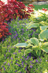 Proven Winners® Perennial Plants|Hosta - Shadowland Seducer 5