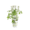 Proven Winners® Annual Plants|Cleome - Señorita Blanca Spider Flower 4