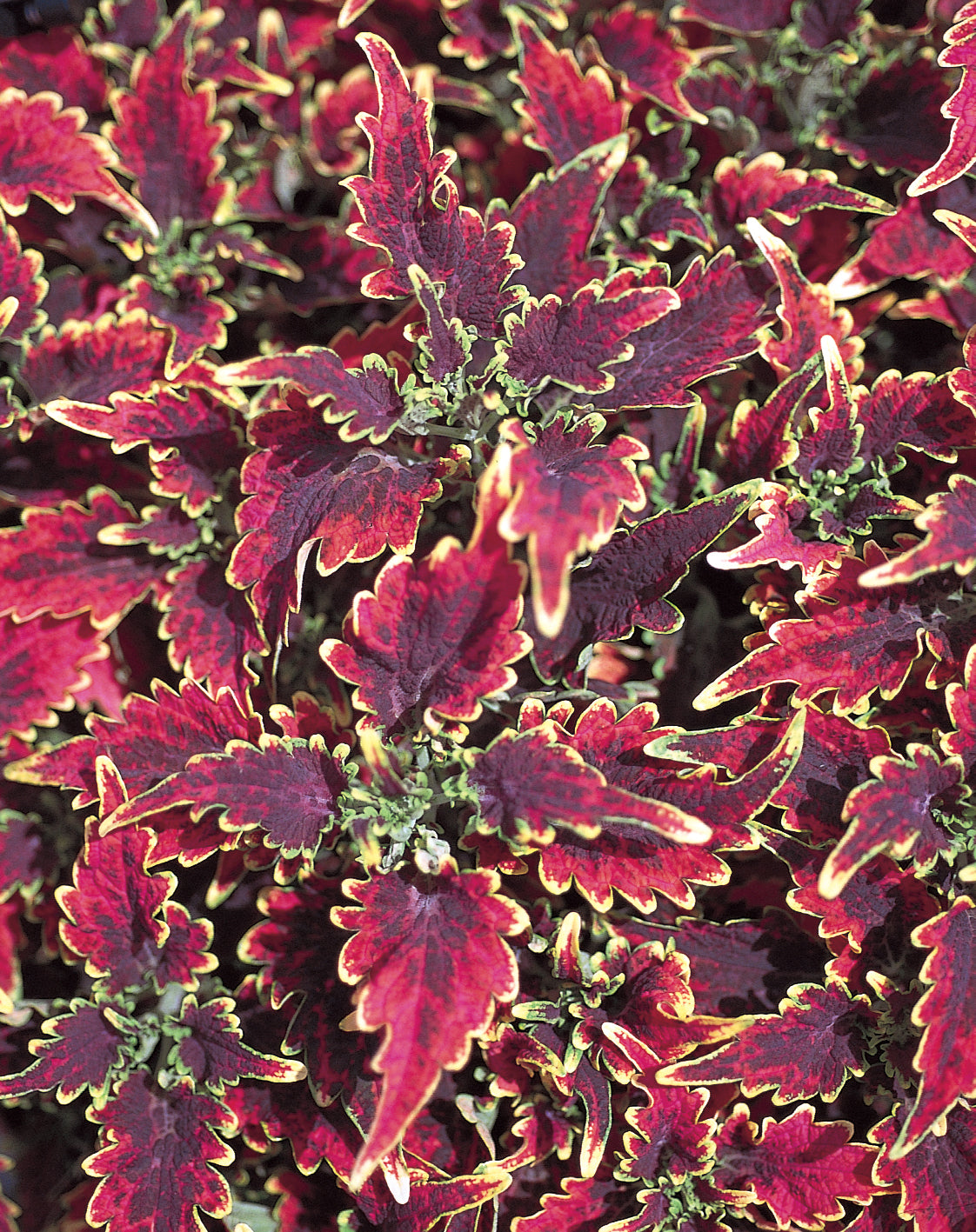Proven Winners® Annual Plants|Solenostemon - Sky Fire Coleus 1