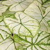 Proven Winners® Annual Plants|Caladium - Heart to Heart 'Snow Drift' 1