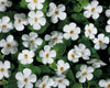 Proven Winners® Annual Plants|Sutera - Snowstorm Giant Snowflake Bacopa 1