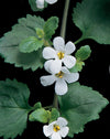 Proven Winners® Annual Plants|Sutera - Snowstorm Giant Snowflake Bacopa 3