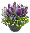 Proven Winners® Annual Plants|Sutera - Snowstorm Giant Snowflake Bacopa 5