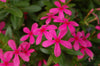 Proven Winners® Annual Plants|Catharanthus - Soiree Kawaii Pink Vinca 1