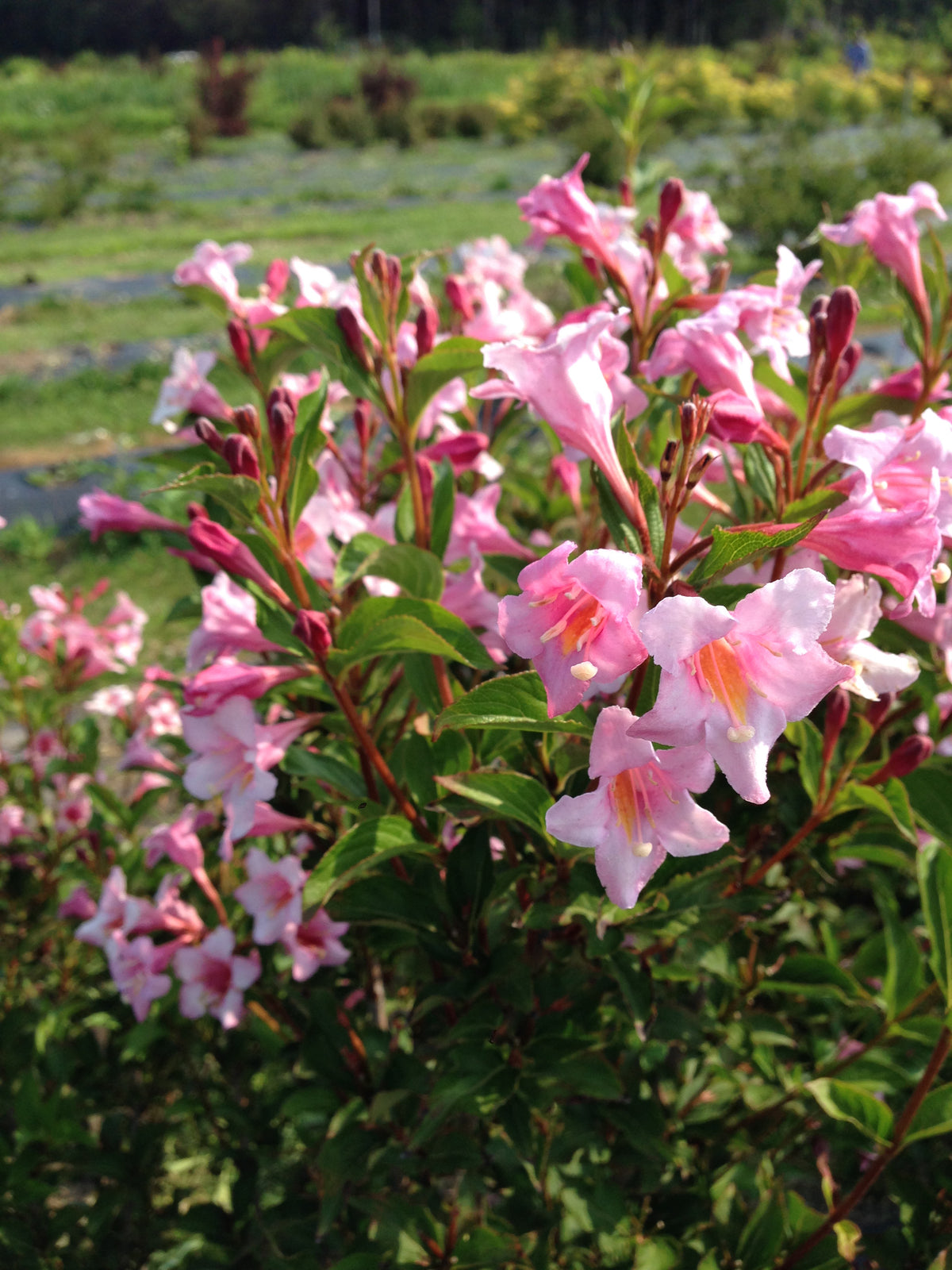 Proven Winners® Shrub Plants|Weigela - Sonic Bloom Pure Pink  1