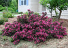 Proven Winners® Shrub Plants|Weigela - Spilled Wine 2