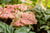 Heart to Heart™ 'Splash Of Wine' (Caladium)