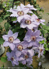 Proven Winners® Shrub Plants|Clematis - Still Waters 2