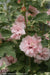 Proven Winners® Shrub Plants|Hibiscus - Sugar Tip Rose of Sharon 1