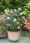 Proven Winners® Shrub Plants|Hibiscus - Sugar Tip Rose of Sharon 4