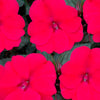 Proven Winners® Annual Plants|Impatiens - Compact Deep Rose 1