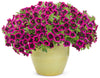 Patio Plants|Calibrachoa - Superbells Blackcurrant Punch Mono Hanging Basket 2