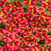 Proven Winners® Annual Plants|Calibrachoa - Superbells Cardinal Star 1