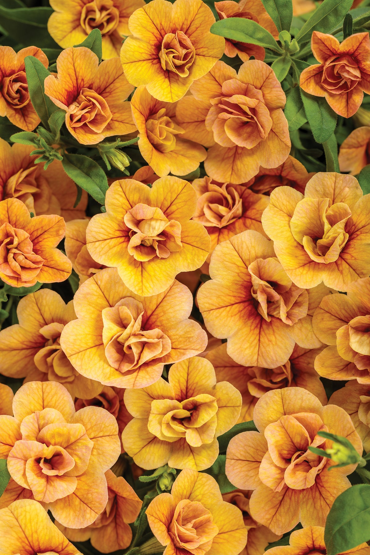 Proven Winners® Annual Plants|Calibrachoa - Superbells Double Amber 1