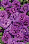 Proven Winners® Annual Plants|Calibrachoa - Superbells Double Blue 1