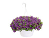 Patio Plants|Calibrachoa - Superbells Double Blue Mono Hanging Basket  1