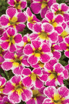 Patio Plants|Calibrachoa - Superbells Holy Cow! Mono Hanging Basket 2