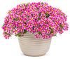 Patio Plants|Calibrachoa - Superbells Holy Cow! Mono Hanging Basket 3