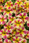 Patio Plants|Calibrachoa - Superbells Holy Moly! Mono Hanging Basket 2