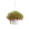 Patio Plants|Calibrachoa - Superbells Holy Moly! Mono Hanging Basket 1