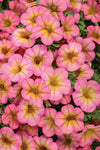 Proven Winners® Annual Plants|Calibrachoa - Superbells Honeyberry 1