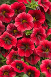 Proven Winners® Annual Plants|Calibrachoa - Superbells Pomegranate Punch 1