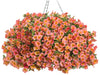 Patio Plants|Calibrachoa - Superbells Tropical Sunrise Mono Hanging Basket  1
