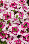 Proven Winners® Annual Plants|Verbena - Superbena Royale Sparkling Ruby 1