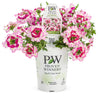 Proven Winners® Annual Plants|Verbena - Superbena Royale Sparkling Ruby 2