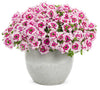 Proven Winners® Annual Plants|Verbena - Superbena Royale Sparkling Ruby 3