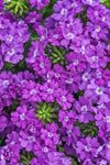 Proven Winners® Annual Plants|Verbena - Superbena Violet Ice 1