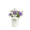 Proven Winners® Annual Plants|Verbena - Superbena Violet Ice 3