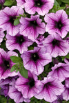Patio Plants|Petunia - Supertunia Bordeaux Mono Hanging Basket 3