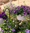 Patio Plants|Petunia - Supertunia Bordeaux Mono Hanging Basket 2
