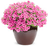 Proven Winners® Annual Plants|Petunia - Supertunia Mini Vista Hot Pink 5