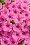 Proven Winners® Annual Plants|Petunia - Supertunia Mini Vista Hot Pink 1