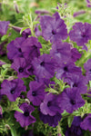 Proven Winners® Annual Plants|Petunia - Supertunia Mini Vista Indigo 1