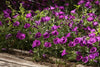 Proven Winners® Annual Plants|Petunia - Supertunia Mini Vista Indigo 3