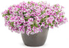 Patio Plants|Petunia - Supertunia Lovie Dovie Mono Hanging Basket 4