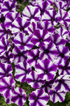 Patio Plants|Petunia - Supertunia Mini Vista Violet Star Mono Hanging Basket  1