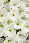 Patio Plants|Petunia - Supertunia Vista Snowdrift Mono Hanging Basket 2