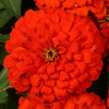 Proven Winners® Annual Plants|Zinnia - Sweet Tooth Licorice 3